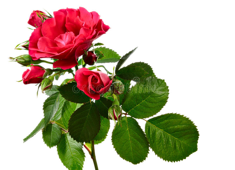 Steigende Rose getrennt auf Weiß stockfotografie