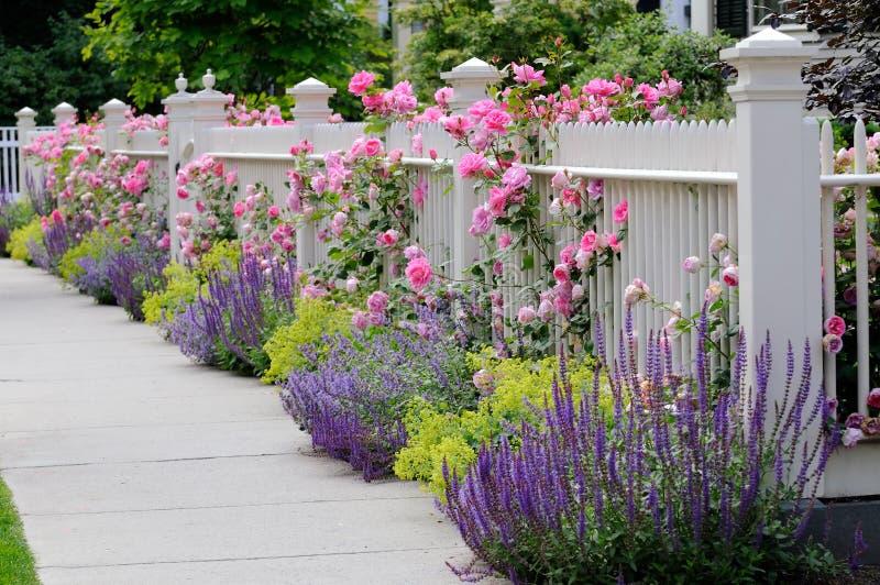 Steigende Rosen, weißer Zaun stockbild