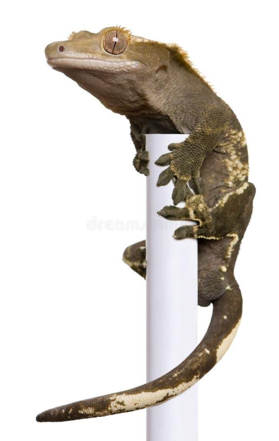 Steigender weißer Pol des neuen kaledonischen mit Haube Gecko lizenzfreies stockbild