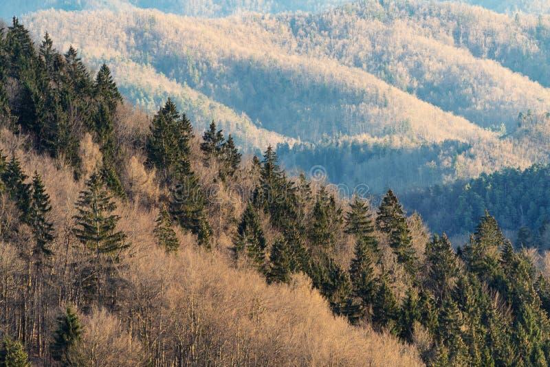 Steigung mit Fichte und kahle Bäume im Vorfrühling und Waldland im Hintergrund stockfotos
