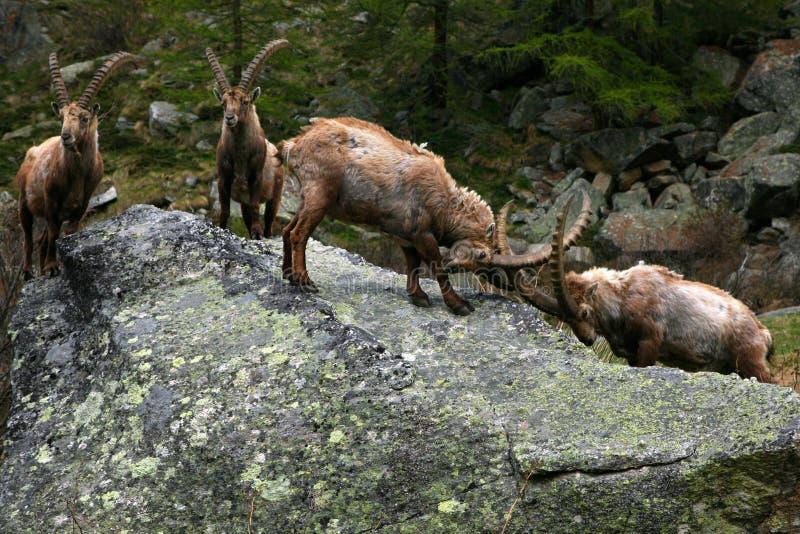 Stein-Bockbierkampf in den Alpen stockfotos