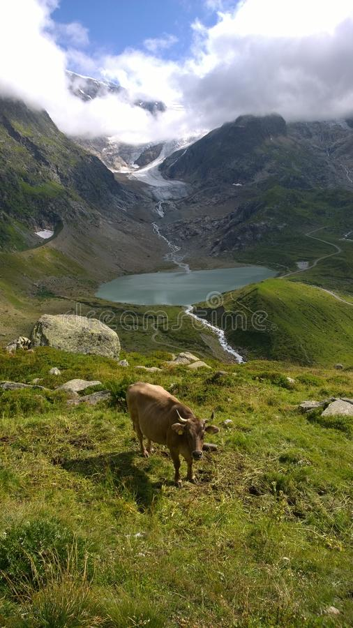 Stein Glacier Switzerland and Cow. A cow in front of Stein Glacier and lake in Switzerland from August 2015 royalty free stock images