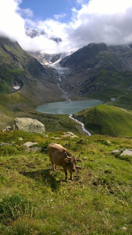 Stein Glacier Switzerland en Koe royalty-vrije stock afbeeldingen