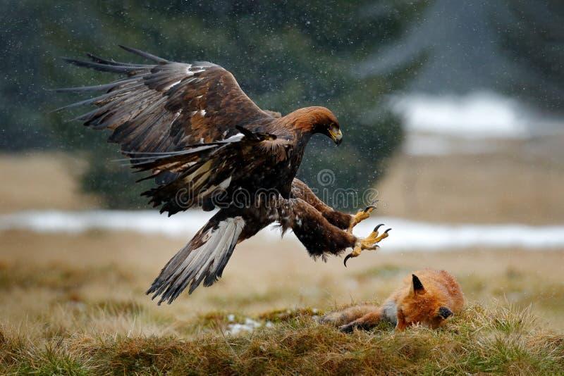 Steinadler, der auf Tötung roten Fox im Wald während des Regens und der Schneefälle einzieht Vogelverhalten in der Natur Verhalte lizenzfreie stockfotos