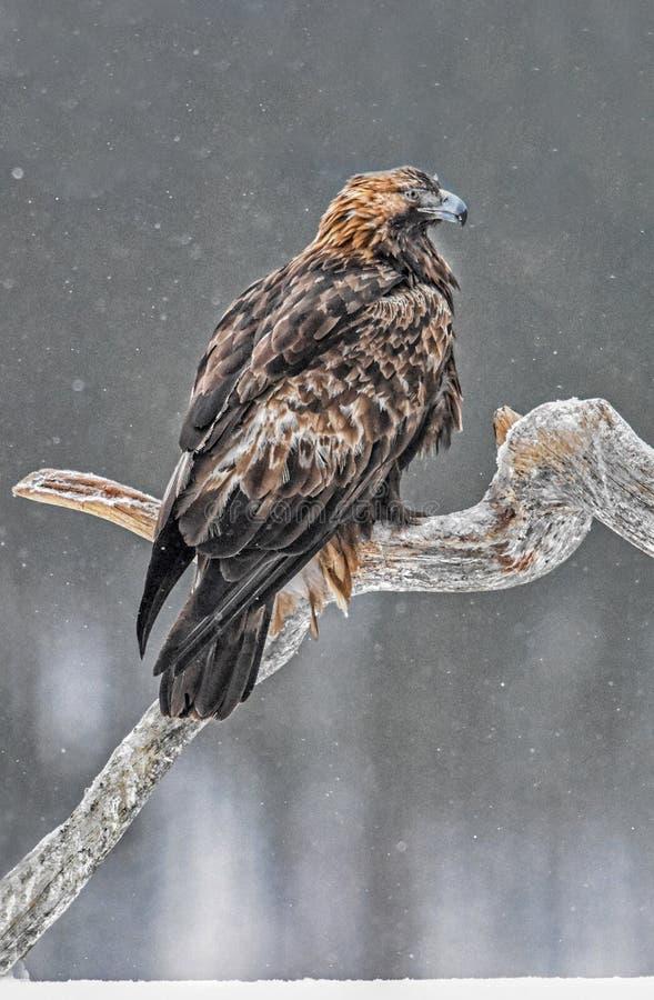Steinadler im Schnee lizenzfreies stockbild