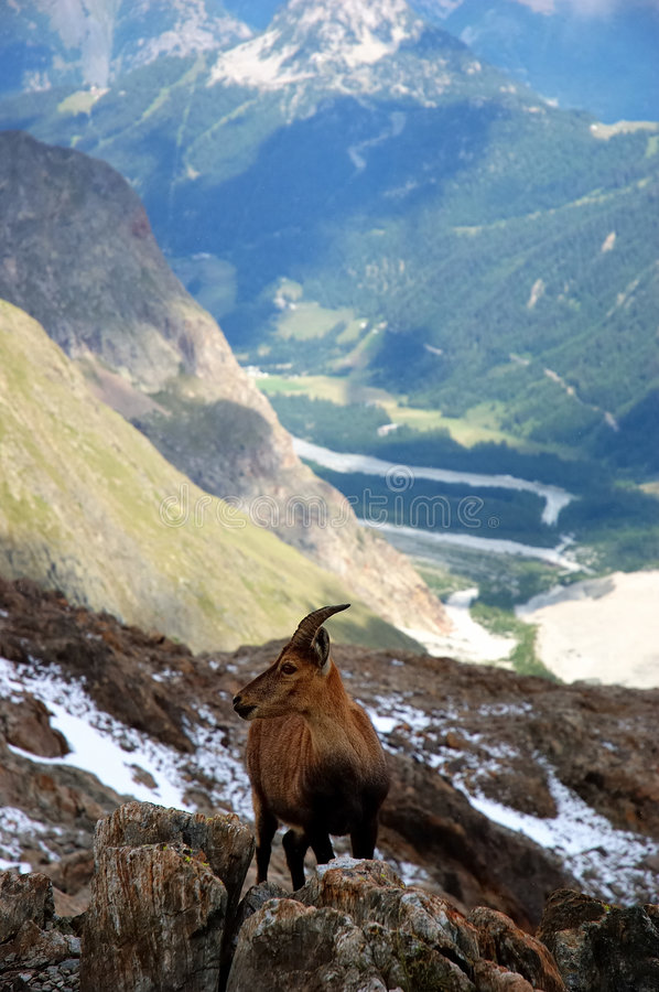 Download Steinbock stock photo. Image of green, stein, europe, valle - 1844484
