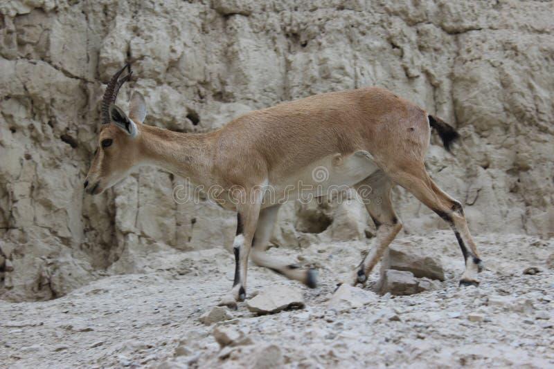 Steinbock, der auf eine Klippe in Ein-gedi, Israel geht lizenzfreies stockfoto