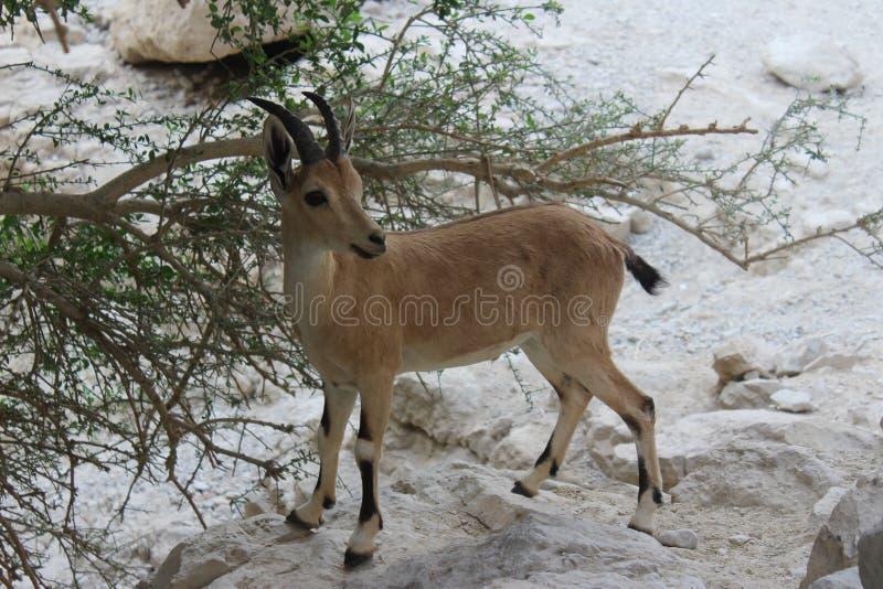 Steinbock, der auf einer Klippe in Ein-gedi, Israel steht stockfotografie