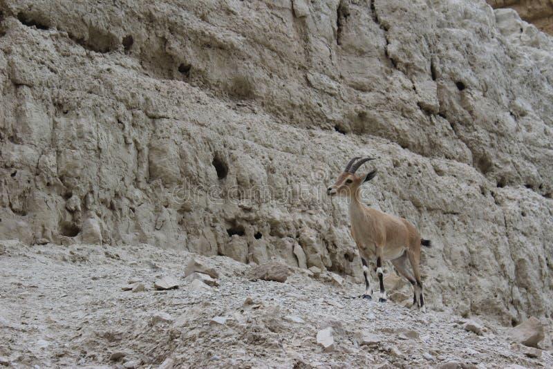 Steinbock, der auf einer Klippe in Ein-gedi, Israel steht lizenzfreies stockfoto
