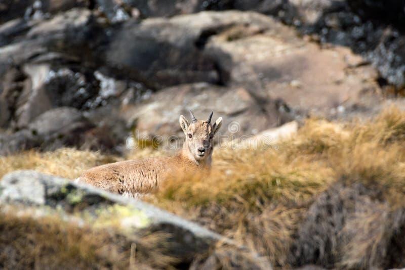 Steinbock novo Cachorrinho alpino do íbex da cabra do íbex Parque nacional de Gran Paradiso, Itália imagens de stock