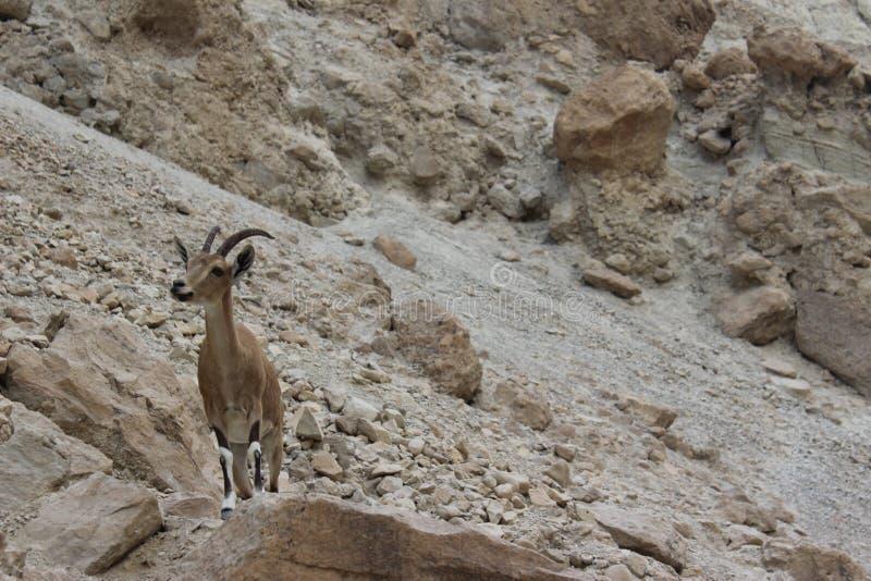 Steinbock standingon eine Klippe in Ein-gedi, Israel lizenzfreie stockfotos