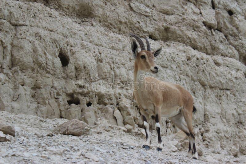 Steinbock standingon eine Klippe in Ein-gedi, Israel stockbild