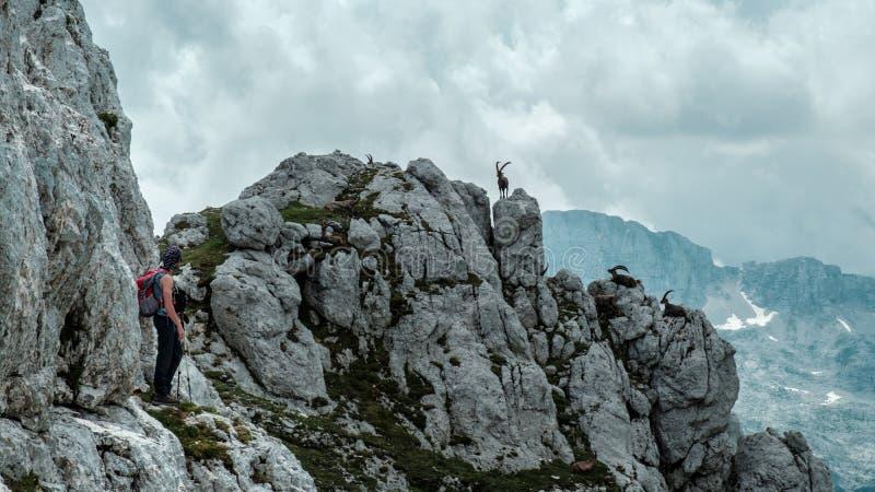 Steinbocks i de Julian fjällängarna fotografering för bildbyråer