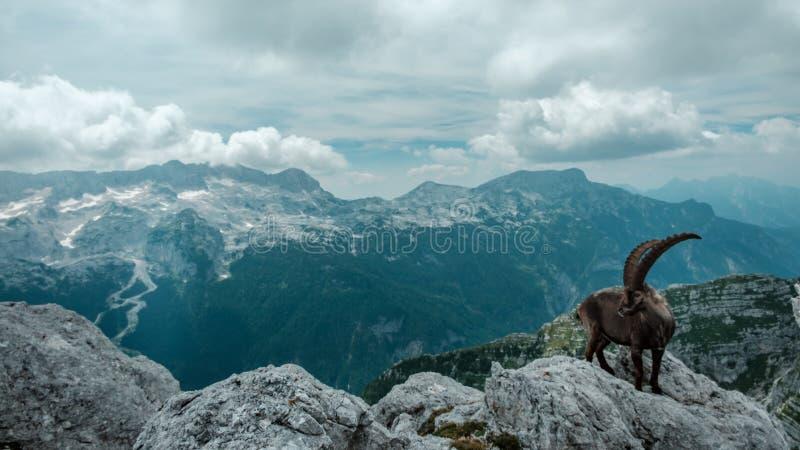 Steinbocks in the Julian alps. Steinbocks on the Mount Montasio in the Julian alps, in a summer day stock image