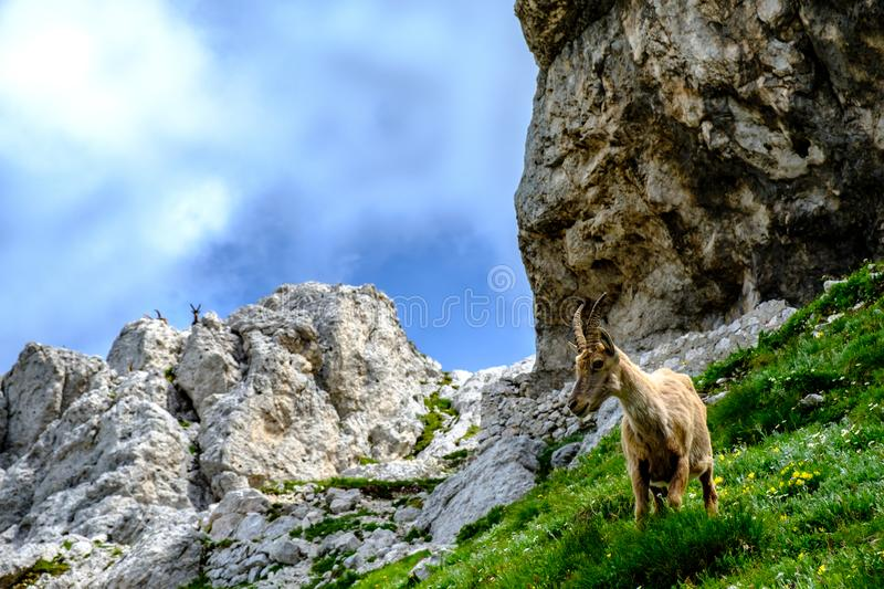 Steinbocks in the Julian alps. Steinbocks on the Mount Montasio in the Julian alps, in a summer day royalty free stock photography