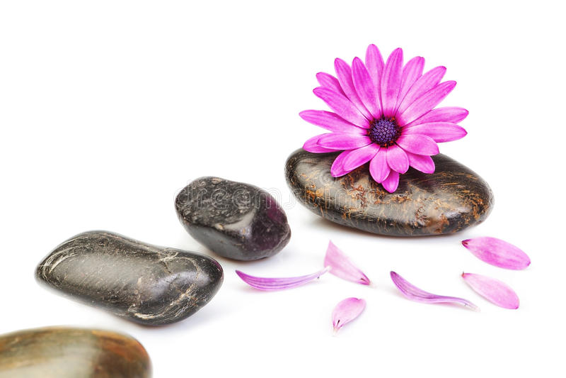 Steine für Massage und Blume osteospermum auf einem weißen Hintergrund lizenzfreies stockfoto