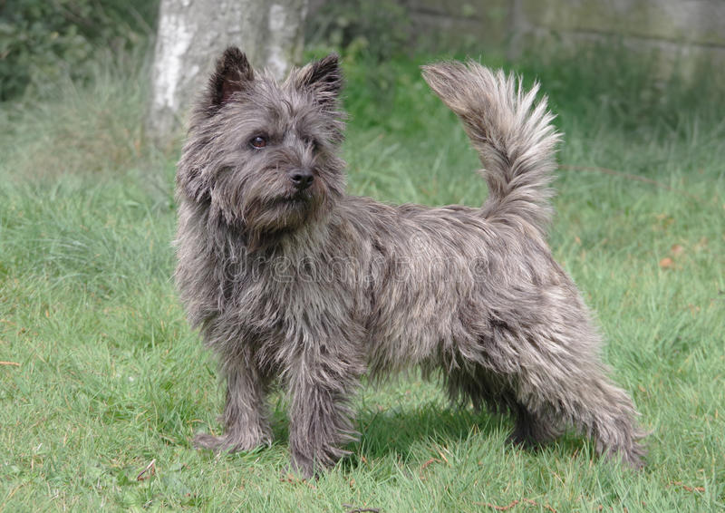 Steinhaufen Terrier von Skye, Schottland-standig lizenzfreies stockbild