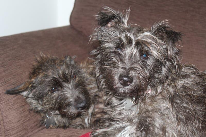 Steinhaufen-Terrier-Welpe lizenzfreie stockfotografie