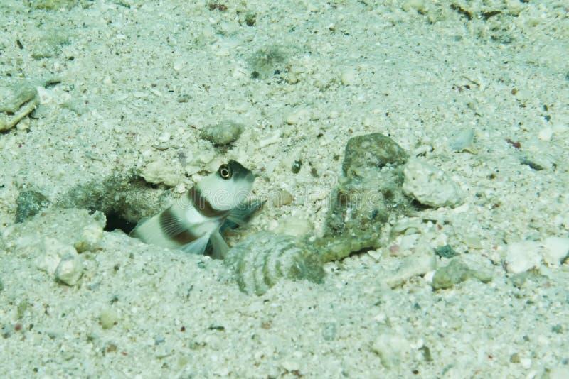 Download Steinitz shrimpgoby stock photo. Image of animal, amblyeleotris - 27967978