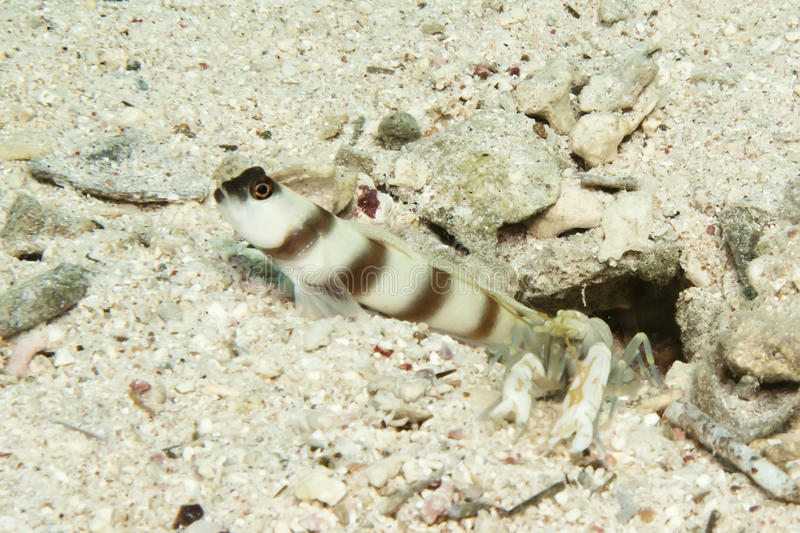 Download Steinitz Shrimpgoby With Shrimp Stock Image - Image of egypt, tropica: 27967987