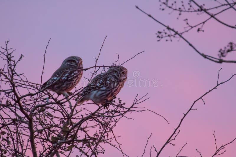 Steinkäuze im Baum bei Sonnenuntergang lizenzfreie stockfotografie
