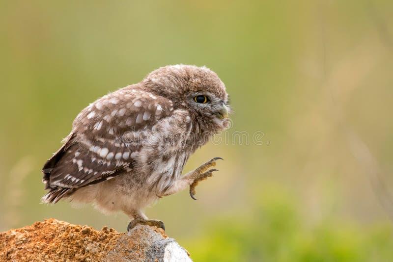 Steinkauz, Athene Noctua, sitzend auf einem Stein und putzen seine Federn Junger Vogel lizenzfreie stockbilder