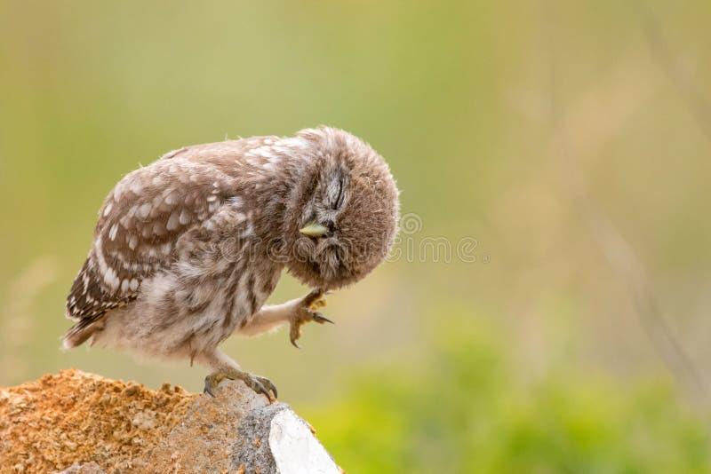 Steinkauz, Athene Noctua, sitzend auf einem Stein und putzen seine Federn Junger Vogel lizenzfreies stockbild