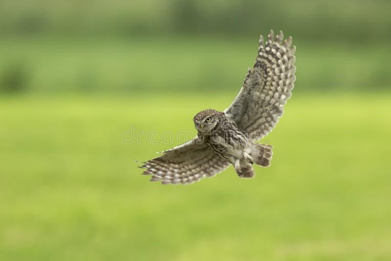 Steinkauz, Athene Noctua, verbreitete Flügel im Flug jagend stockfotos