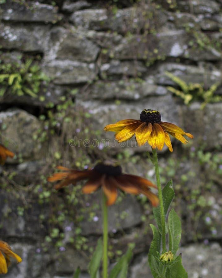 Steinwand der orange Blume stockbild