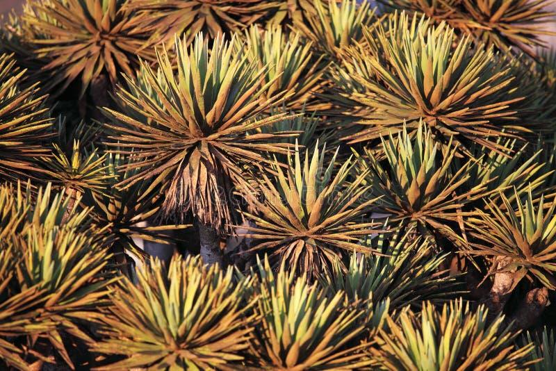 Stekelige bladeren van de boom van de Draak royalty-vrije stock afbeelding