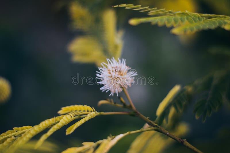 Stekelige bloeiende witte bloem stock foto's