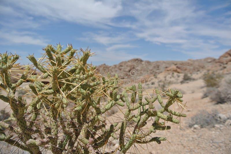 Stekelige Cholla-cactus, Joshua Tree National Park, Californië stock afbeeldingen