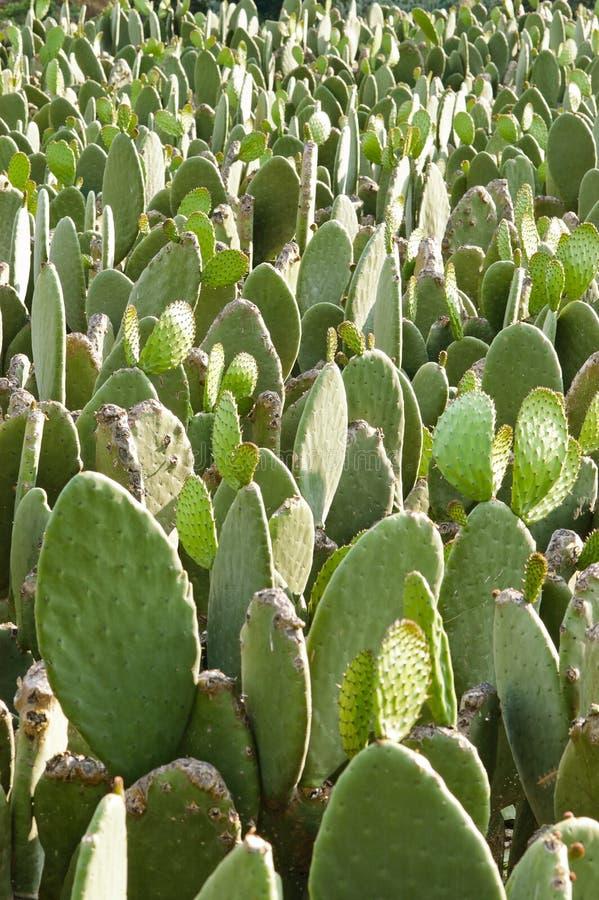 Stekelige nopal peren (vijgencactus) cactus stock afbeeldingen