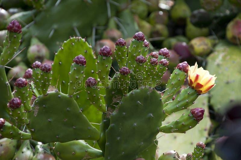 Stekelige perenpeddels met fruit en bloemen royalty-vrije stock foto's