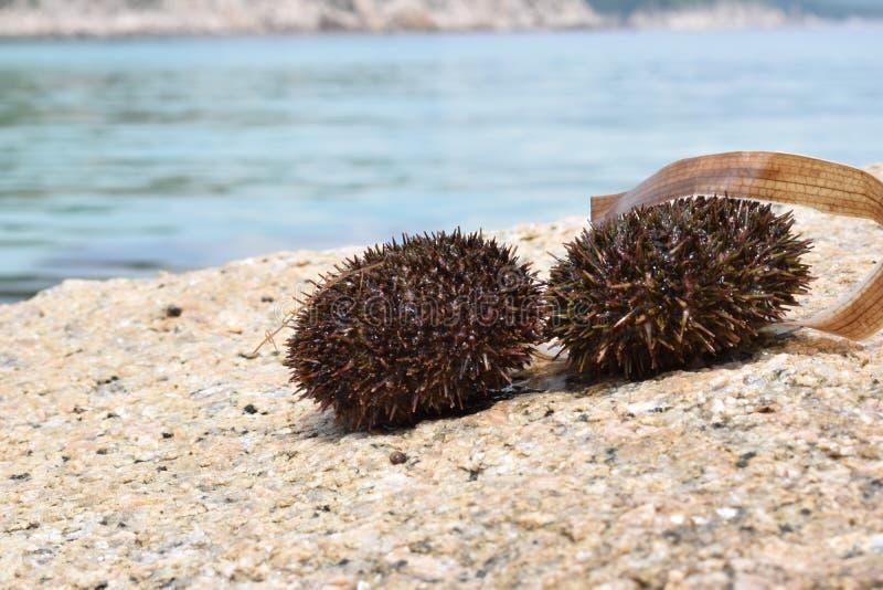 Stekelige zee?gels op een steen op een Zonnige dag zwarte eetbare zee?gels royalty-vrije stock afbeelding
