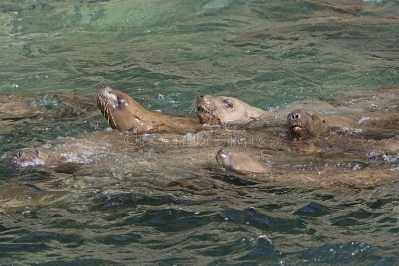 Stelarni Denni lwy Pływa w oceanie zdjęcie royalty free
