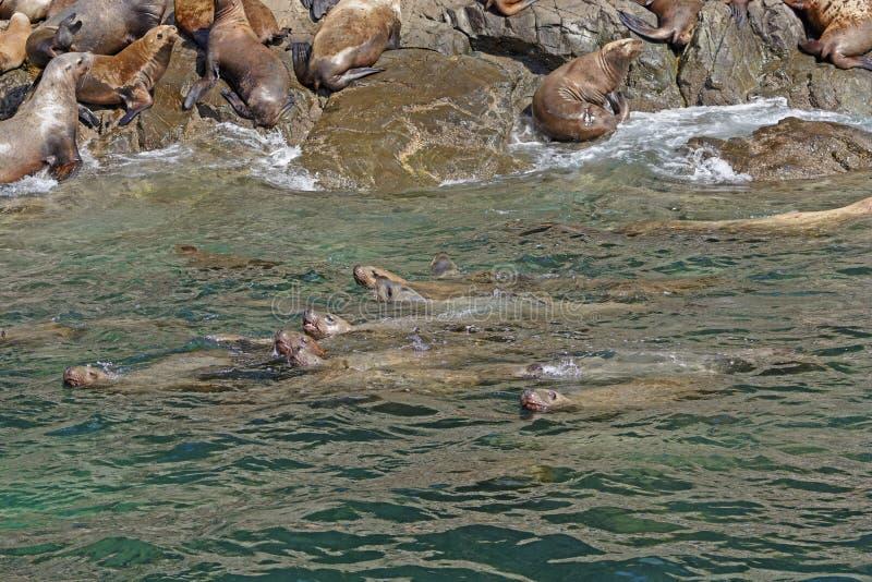 Stelarni Denni lwy Pływa wzdłuż brzeg zdjęcie stock