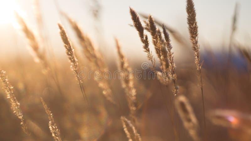 Stelen van droog gras stock afbeelding