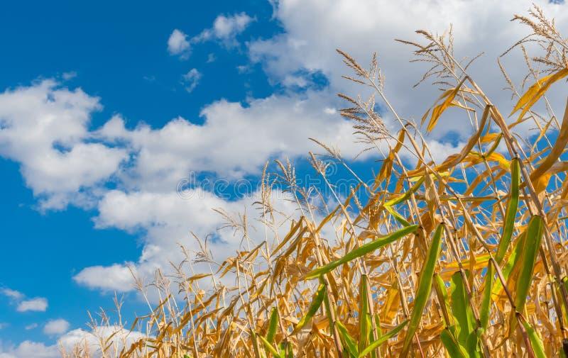 Stelen van maïsclose-up tegen blauwe bewolkte hemel royalty-vrije stock foto's