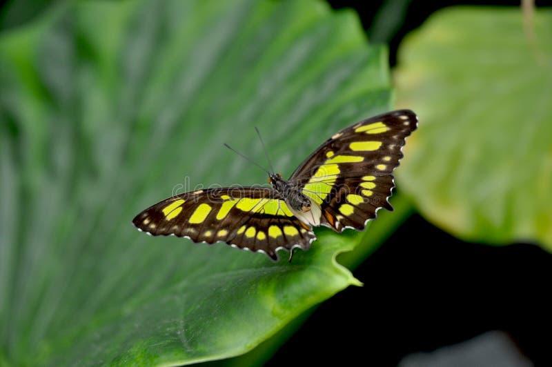 Stelenes de Butterly Siproeta de malachite photographie stock libre de droits