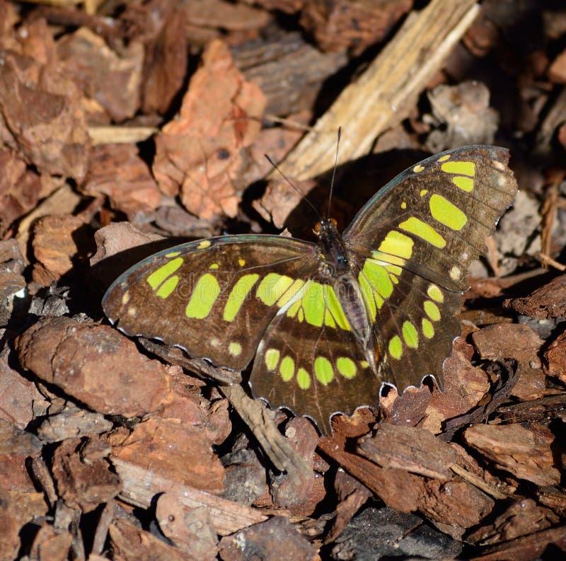 Stelenes de siproeta de nymphalidae de papillon de malachite photographie stock libre de droits