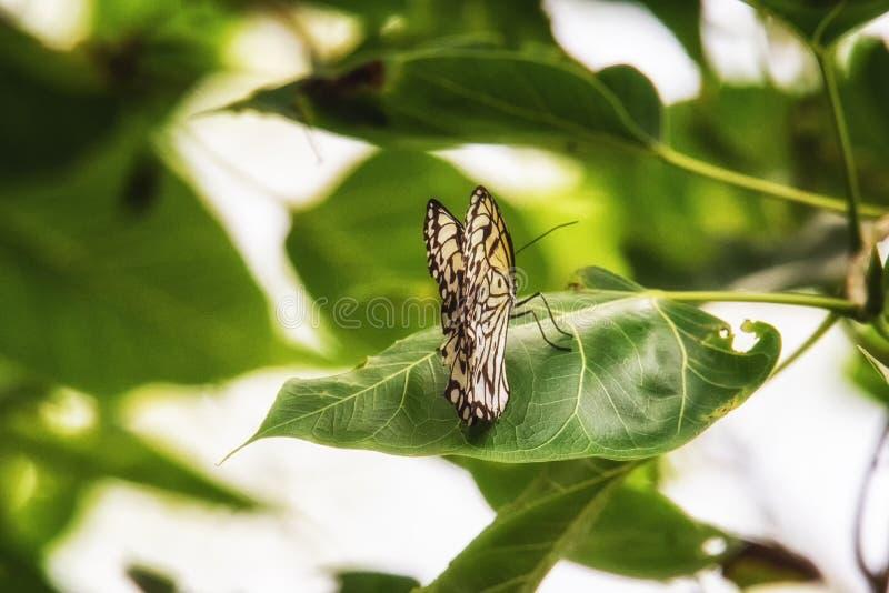 Stelenes de Siproeta de papillon de malachite photo stock