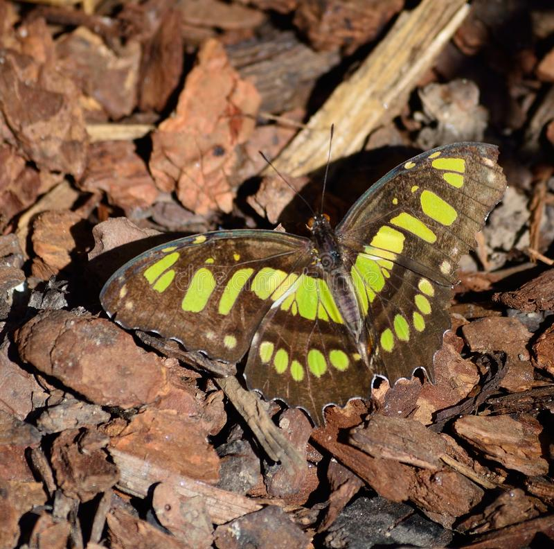 Stelenes del siproeta del nymphalidae de la mariposa de la malaquita fotografía de archivo libre de regalías