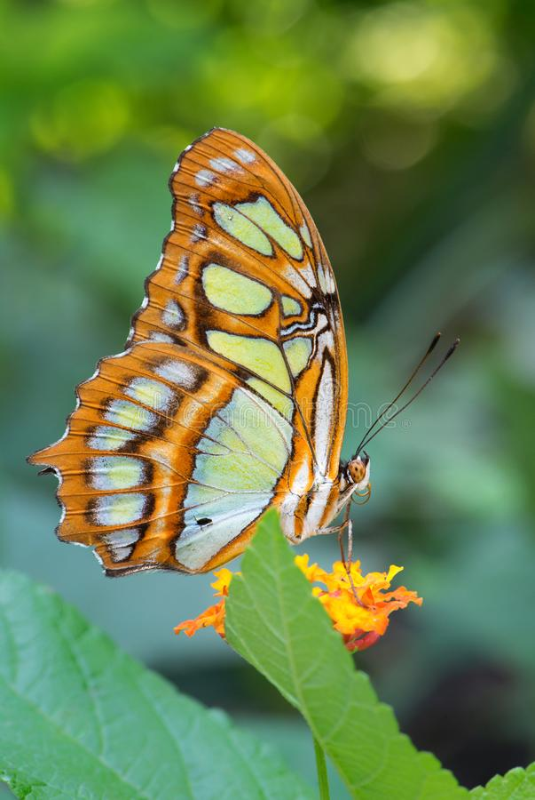 Stelenes di Siproeta della farfalla della malachite immagini stock libere da diritti