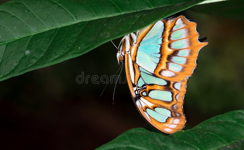 Stelenes di Siproeta della farfalla della malachite fotografie stock libere da diritti