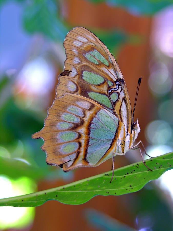 stelenes för siproeta för fjärilscosta rican arkivfoton