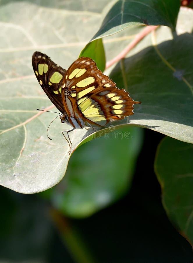 Stelens de Siproeta, papillon merveilleux de malachite image stock