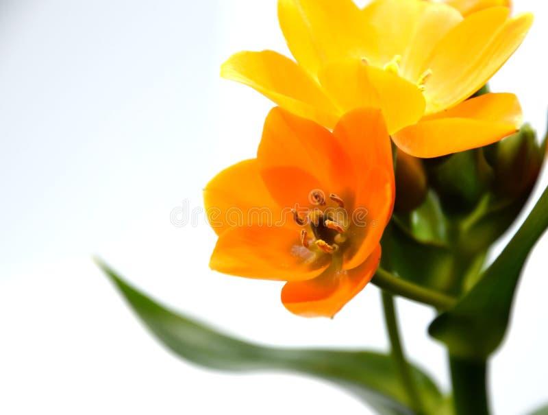 Stella arancio del fiore di Betlemme, Ornithogalum, contro un fondo bianco fotografie stock libere da diritti