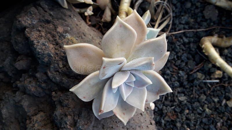 Stella bianca royaltyfri bild