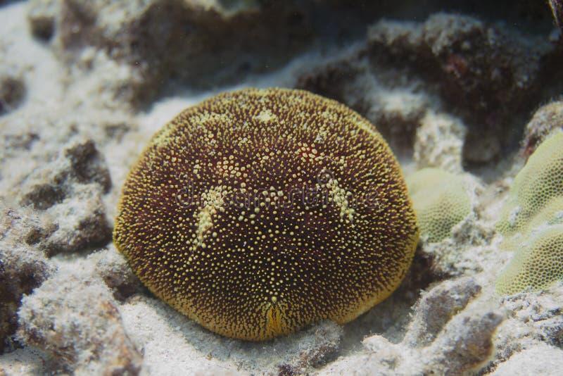 Stella del cuscino su Coral Reef immagine stock libera da diritti